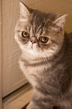 Exotic Shorthair...the meanest little face!