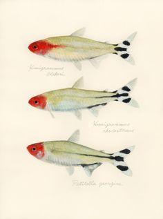 Rummy-nose tetra / Hemigrammus bleheri, H.rhodostomus, Petitella georgiae (ラミーノーズテトラ Rummy-nose tetra:…