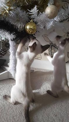 Christmas Animals, Christmas Cats, Siamese Kittens, Cats And Kittens, Funny Cat Memes, Funny Cats, Crazy Cat Lady, Crazy Cats, I Love Cats