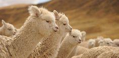 Michell - Peruvian Alpaca Machine Knitting and Hand Knitting Yarns