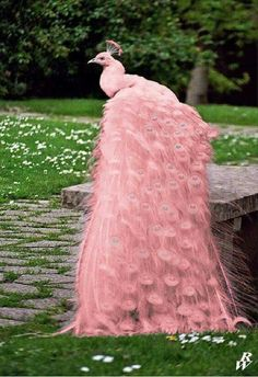 This peacock is photoshoped. Pink albino peacock...don't buy it!!!