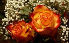 Beautiful Yellow & Orange Roses