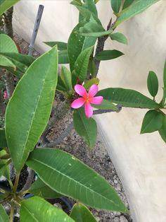 NOID Pink