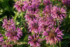 Hybrid Wild Bergamot 'Rebecca' (Monarda x fistulosa)