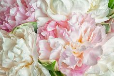 Blooming Peonies Photograph by Zina Zinchik
