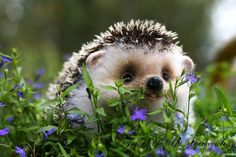 Baby hedgehog in the grass. If I broke down and got a pet one day, I think I would get a hedgehog. So cute Baby Animals Pictures, Animals And Pets, Funny Animals, Farm Animals, Funny Babies, Cute Babies, Cute Hedgehog, Tier Fotos, Cute Little Animals