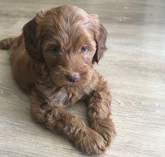 Just got my first puppy! Meet Alfie! http://ift.tt/2xWtvfY
