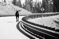 Spiffy Pix Photography   Moose Crossing