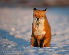 Fox enjoying the sun in the cold winter day