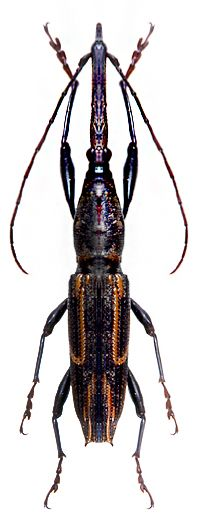 Tychaeus sp ~ETS #beetles