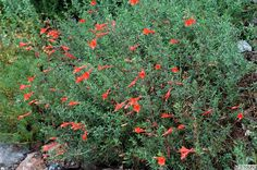 "Zauschneria californica//California Fuchsia. 6-12"" Ht, 36-48"" W. Semi-deciduous. sun.CA native."