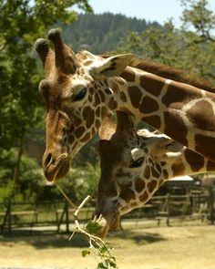 Safari West - Seriously fun for everyone (group tours, dining, lodging, walking tours, etc)