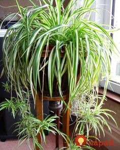 House Plants 361554676334192777 - chlorophytum plante qui aime l'ombre Source by cmmnteconomiser Outdoor Plants, Garden Plants, Patio Plants, Sun Plants, Tomato Plants, Garden Soil, Garden Table, Outdoor Landscaping, Tropical Plants