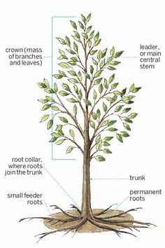 Permanent roots anchor a tree to the ground, while temporary feeder roots carry water and nutrients to limbs, branches, and leaves. At maturity, a well-shaped tree has a balanced canopy and a single strong leader. | Illustration: Rodica Prato