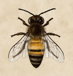 Ontario Species on Behance Western honey bee (Apis mellifera)