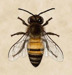 Ontario Species on Behance Western honey bee (Apis mellifera)