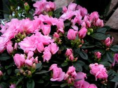 Greenhouse azaleas are beautiful, multicolored joys of spring. Their bright beauty has caused many a gardener to ask, Can you grow azalea indoors successfully? Find the answer here. Pruning Azaleas, Dwarf Azaleas, Azaleas Landscaping, Growing Flowers, Planting Flowers, Flower Gardening, Growing Plants, Cyclamen Care, Deadly Plants