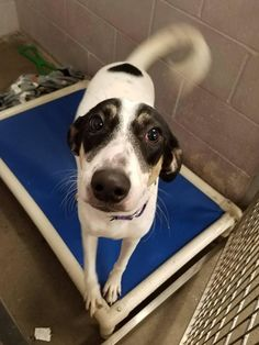 Meet Hapy, an adoptable Saluki looking for a forever home. If you're looking for a new pet to adopt or want information on how to get involved with adoptable pets, Petfinder.com is a great resource.