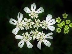 ORLAYA grandiflora,  for the centerpieces