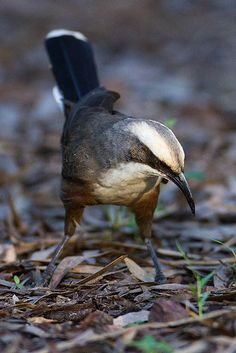 Grey-crowned Babbler (Pomatostomidae family) - a species of bird found in Australia, Indonesia, and Papua New Guinea. Its natural habitats are temperate forests and subtropical or tropical moist lowland forests.