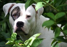 I'd also like to get an American Bulldog.