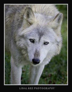 Gray Wolf ~ Wildlife Prairie SP