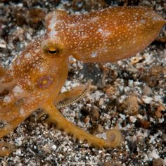 Poison Ocellate Octopus | Lembeh Strait | 2011.10.10  Title: Poison Ocellate Octopus Location: Lembeh Strait Camera: NIKON D300 Lens: AF-S VR Micro-Nikkor 105mm f/2.8G IF-ED Settings: 1/250 f/36 ISO200 Housing: Subal ND300 Strobes: 2 x Subtronic Pro270  http://marek.wylon.com