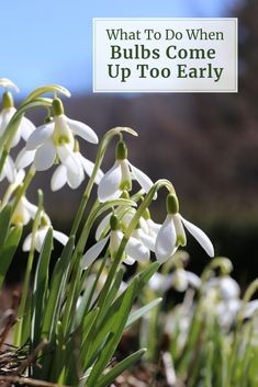 During late fall and early winter, tulips, daffodils and other spring bulbs are growing roots and getting ready to sprout. If the weather is unusually warm, they may come up too early -- but there's no need for concern! Learn more: Daffodils, Tulips, Growing Veggies, Garden Bulbs, Spring Bulbs, Lawn And Garden, Gardening Tips, Beautiful Flowers, Roots