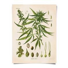 Vintage Botanical Cannabis Sativa Marijuana Print - 11x14 - 11x14 Print