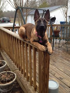 Marley can find a comfortable spot anywhere Belgian Shepherd, German Shepherd Dogs, Belgian Malinois Puppies, Puppies And Kitties, Doggies, Schaefer, War Dogs, Military Dogs, Dog Rules