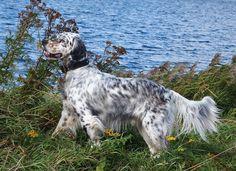 Irish Setter, English Setter, Red And White Setter, Gordon Setter, Doggies, Dog Cat, Cats, Beautiful, Fishing