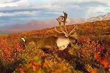 Alaska Caribou Photos