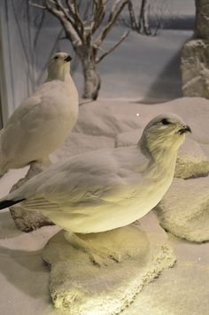 Lagopus - Natural History Museum of Meteora & Mushroom Museum Natural History Museum, Birds, Nature, Animals, Naturaleza, Animales, Animaux, Bird, Animal