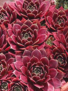 Succulent plants have thick, fleshy leaves or stems that are adapted to store water.
