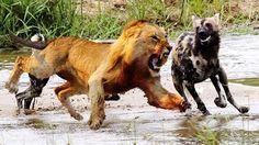 Most Terrible Hunting of Big Cats - Big Cats Attack and Kill Hyena, Buff...