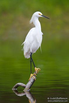 Snowy Egret - © Judd Patterson