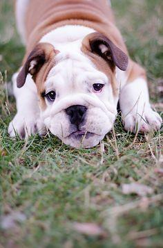 Bulldog Puppy sweet OMG eyes