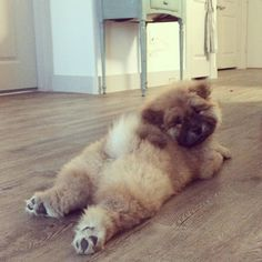 Best Images and Ideas about Chow Chow, The Oldest Dog Breed