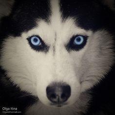 Those eyes!!  Gorgeous Husky and Oh, those eyes!!! ♥