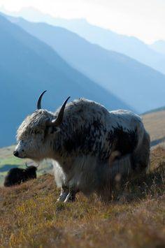 Yack en alpage. Valais. Suisse.