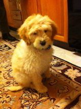 Our new Labradoodle puppy, Finn.  :)