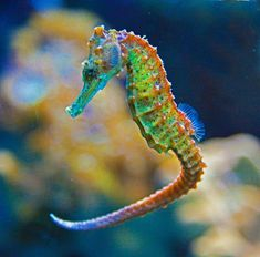Seahorse - Monogamous Animals: Sea Horses Scientists have studied only a handful… Colorful Seahorse, Colorful Fish, Beautiful Creatures, Animals Beautiful, Beautiful Fish, Beautiful Images, Vida Animal, Salt Water Fish, Saltwater Tank