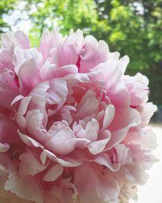 """But You,  You Are My Lifeline"" #peony #peonies #peonylove #inlove #comeback #peonyseasonistooshort #flowers #flower #favoriteflower #flowergram #flowerstagram #flowersofinstagram #naturalbeauty #nature #mothernature #beauty #closeups #pink #summer #green #lyrics #imaginedragons #illmakeituptoyou Natural Beauty from BEAUT.E"