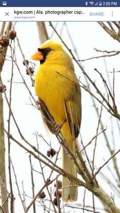 Yellow male cardinal  Alabama