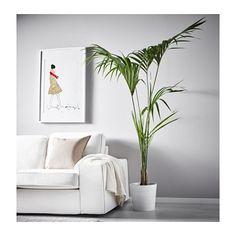 HOWEA FORSTERIANA Plante en pot IKEA