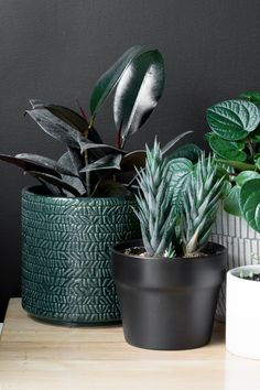Learn how to care for a rubber plant! These are all the rubber tree care tips yo… - All For Herbs And Plants Peace Lily, Balcony Plants, Indoor Plants, Hanging Plants, Plante Pothos, Rubber Plant Care, Snake Plant Care, Cactus Care, Household Plants
