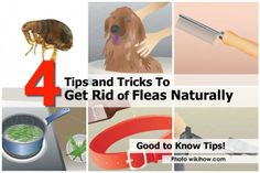 4 Tips and Tricks To Get Rid of Fleas Naturally