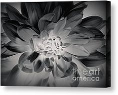 Black Dahlia Photograph by Christie Morgans - Black Dahlia Fine Art Prints and Posters for Sa