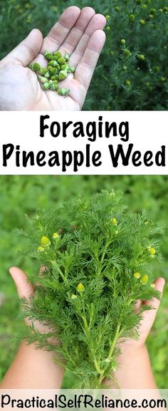 Foraging Pineapple Weed Pineapple weed (Matricaria discoidea) is often one of the first plants a budding forager tries as Healing Herbs, Natural Healing, Healing Spells, Soul Healing, Organic Gardening, Gardening Tips, Vegetable Gardening, Container Gardening, Pallet Gardening
