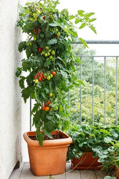 Do you know the best container gardening veggies? A variety of veggies that can easily be grown in pots. Perfect for growing vegetables without a garden. Simple tips for container gardening. Garden Web, Herb Garden, Garden Design, Garden Plants, Potted Garden, Patio Plants, Plants On Balcony, Porch Vegetable Garden, Balcony Garden Ideas Vegetables